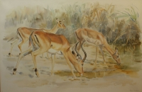 Impala drinking by Vaughan, Patricia
