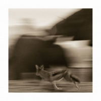 Jackal running by Springer, Graham