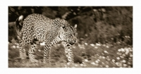 Leopards walking by Springer, Graham