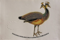 Untitled (Peahen) by Schonfeldt, Joachim