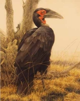Ground Hornbill by Bateman, Robert