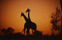 2 Giraffes by Unknown