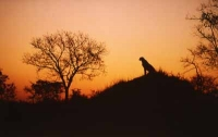 Cheetah On Hill by Unknown